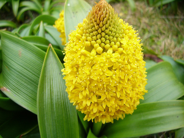Bulbinella Plant